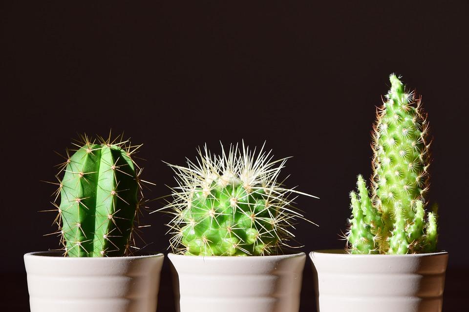 Le cactus : un élément déco qui continue de cartonner